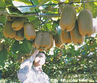 「モンティ」を収穫する宮台さん