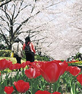 桜とチューリップが咲く江川せせらぎ緑道=3月31日撮影