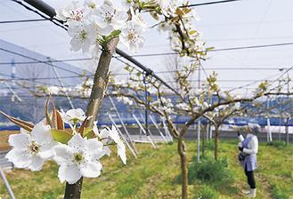 浜なしの木に咲く白い花=4月3日撮影