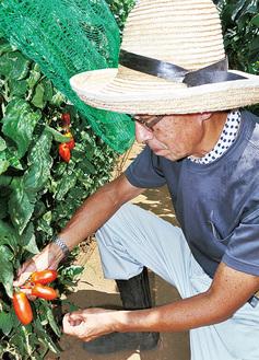 トマトを収穫する野村さん