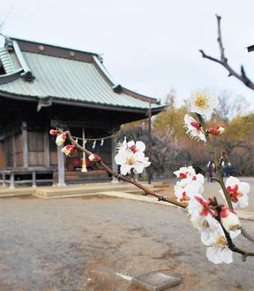 本堂周辺に咲く白梅=2月14日撮影