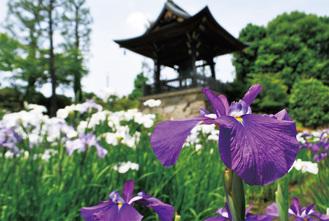 鐘楼堂前に咲く白や紫の花菖蒲=6月6日撮影