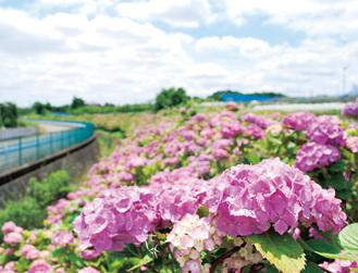 梅雨の晴れ間に咲き誇る大熊川沿いのアジサイ=6月11日撮影
