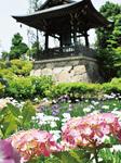 正覚寺のアジサイ