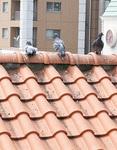 北山田駅前交番の上に止まるハト=23日撮影