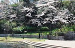池を見下ろす桜の木