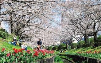 桜の名所、江川せせらぎ緑道=3月25日撮影
