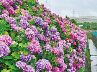 大熊川沿いに咲くアジサイ=6月13日撮影