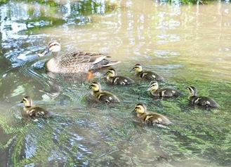 池を楽しそうに泳ぐカルガモの親子=10日撮影