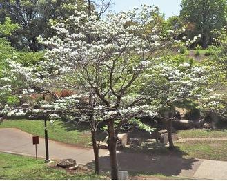 港北区の木「ハナミズキ」(4月20日撮影)