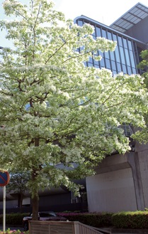 白く細い花を咲かせている(21日撮影)