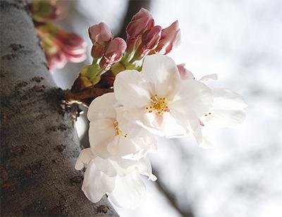 見上げれば200本の桜