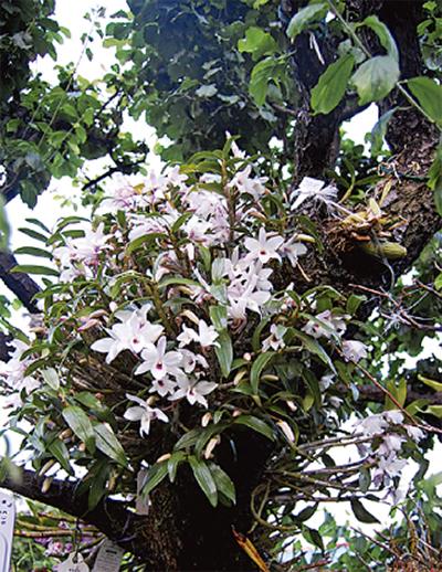 梅の木に蘭?