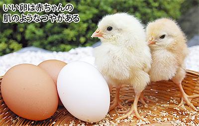 その日にとれた新鮮卵をどうぞ