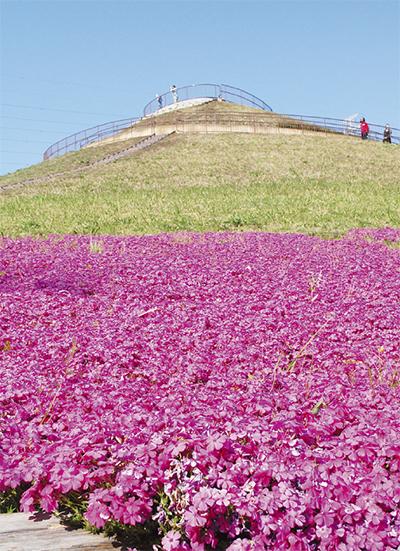 川和富士にピンクの絨毯(じゅうたん)