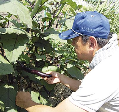 夏野菜が収穫期