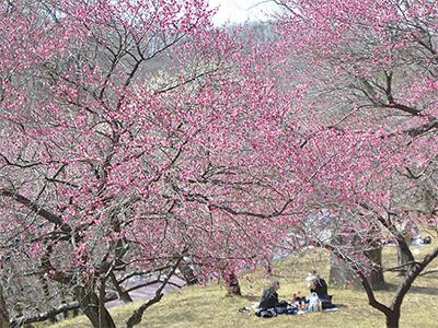 春訪れる「梅まつり」