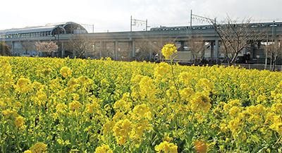 「黄色の絨毯」満開