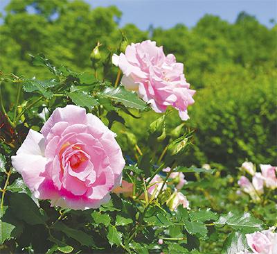 中央公園でバラ開花