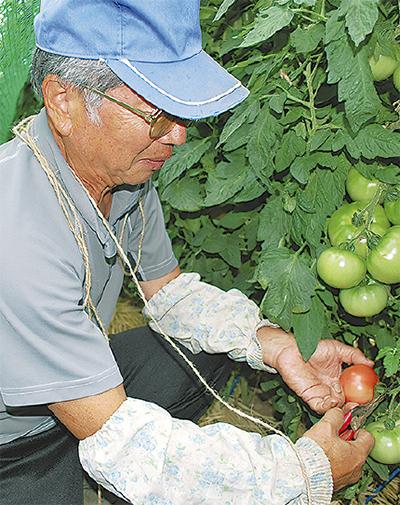 夏野菜の収穫がピーク