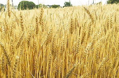 都筑産小麦で商品開発