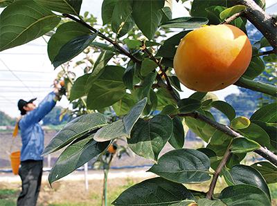 区内で柿の収穫ピーク