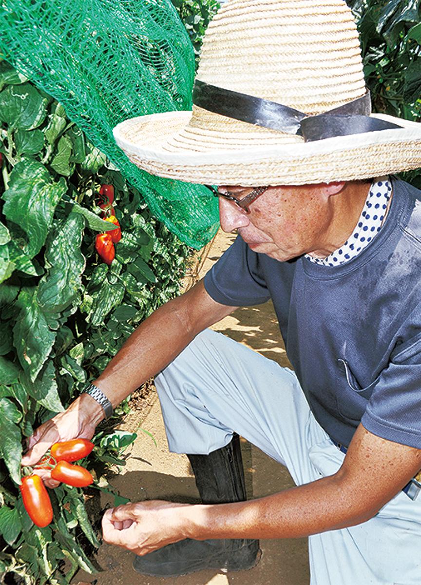 夏野菜収穫がピーク