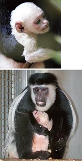 生まれた赤ちゃん(写真上)、母・シズカにしがみつく姿も