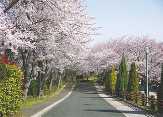 同校正門の桜並木
