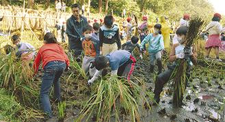 ぬかるんだ田んぼで稲を刈る児童たち