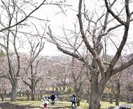 約千本が咲く桜山