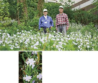 敷地内に一面に咲いたシャガの花(写真上左・油井さん、右・坂口さん)