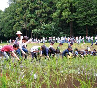 並んで田植えをする児童たち