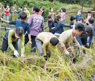 並んで稲を刈る児童たち