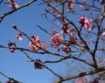 少しずつ咲き始めた梅