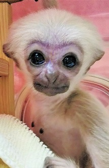 公開されるメスの赤ちゃん「プロイ」(ズーラシア提供/3月17日撮影)