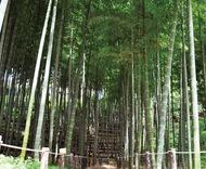 風情漂う泉の竹林