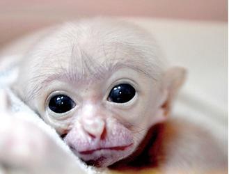 ボウシテナガザルの赤ちゃん(同園提供)