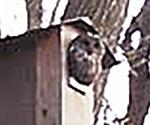 設置した巣箱で休むフクロウ(中村代表提供)