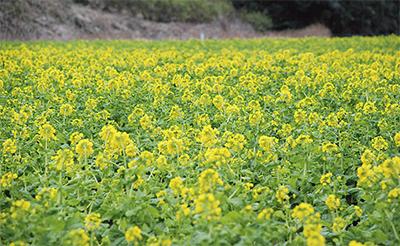 春告げる 黄色の世界