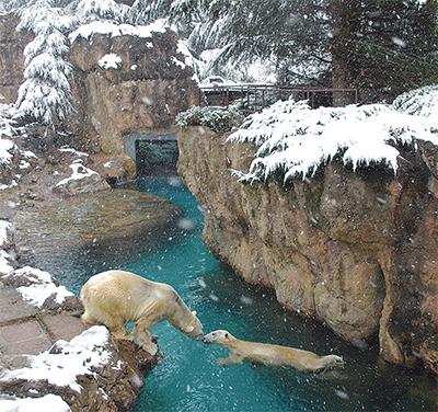 大雪の中、元気な白クマ