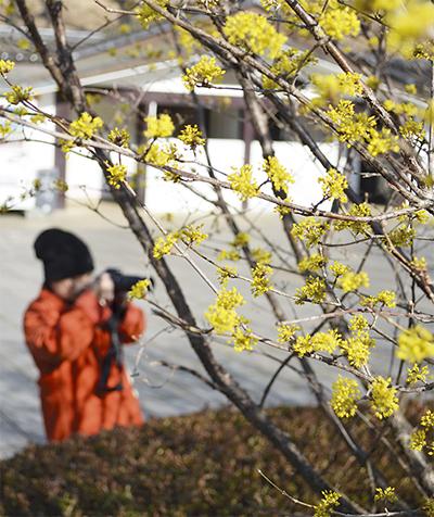 黄金色が春告げる