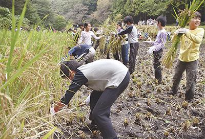 一から育てた稲を収穫