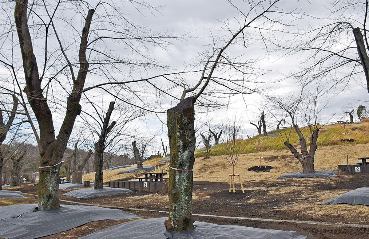 桜衰退で改良工事