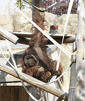 消防ホースを使って樹上行動を見せるズーラシアのオランウータン・ロビン