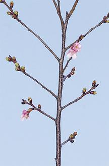 小さな花を付けた河津桜満開予想は2月中旬頃