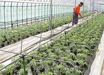 ▲約40坪のハウスいっぱいに並んだ約870個の苗。所狭しと葉を広げている苗に一つひとつ水やりをする守屋さん