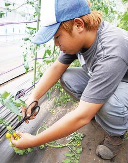 収穫の時を迎えたハウスのミニトマト