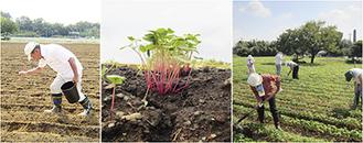 種まき→発芽→畝立ての様子。順調に育っている