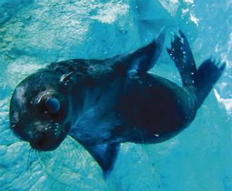プールで元気に泳ぐハッピー(=同園提供)